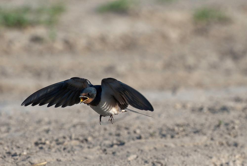 Barn swallow (Hirundo rustica) collecting mud, Codrii forest Reserve, central Moldova