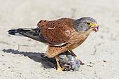 Falcons & Kestrels