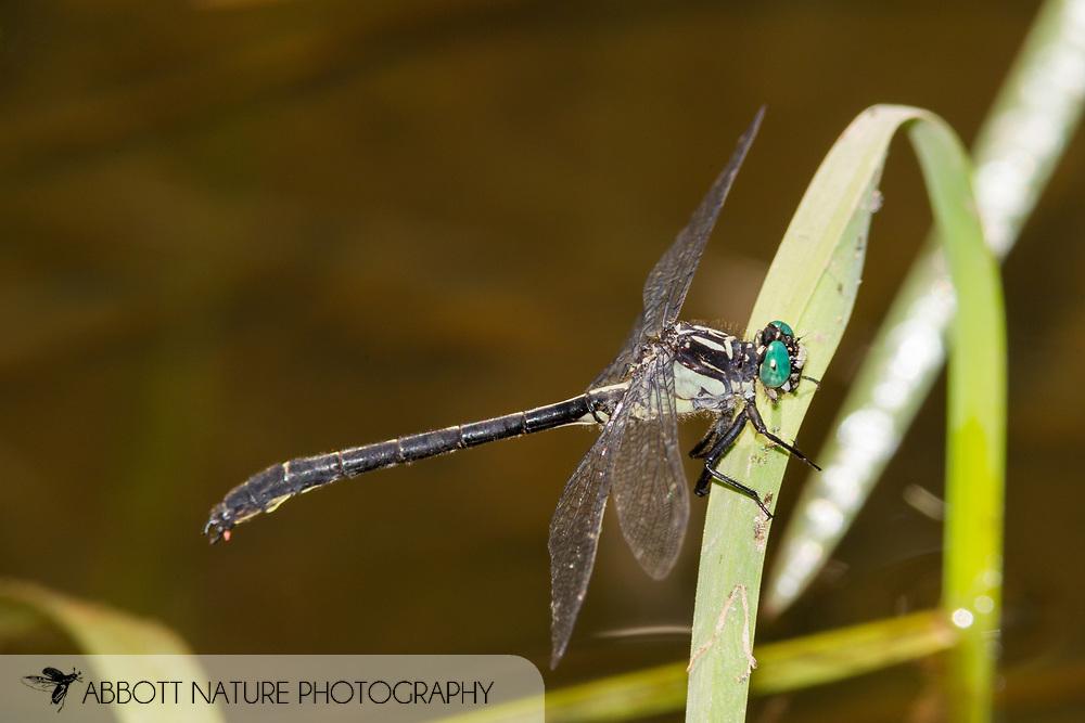 Sable Clubtail (Stenogomphurus rogersi) - male<br /> PENNSYLVANIA: Huntingdon Co.<br /> Beaver Dam Meadow off Pine Swamp Rd.<br /> 26.June.2015<br /> J.C. Abbott #2756