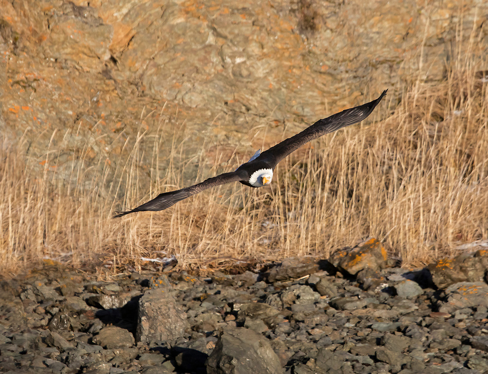 Alaska. Bald Eagle (Haliaeetus leucocephalus) flight a rocky coastline, Kachemak Bay.