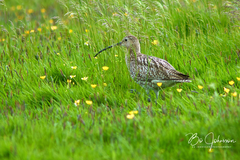A eurasian curlew (Numenius arquata) in the wet green meadows of Vombs angar.<br /> Vomb, southern Sweden.<br /> June 2005.