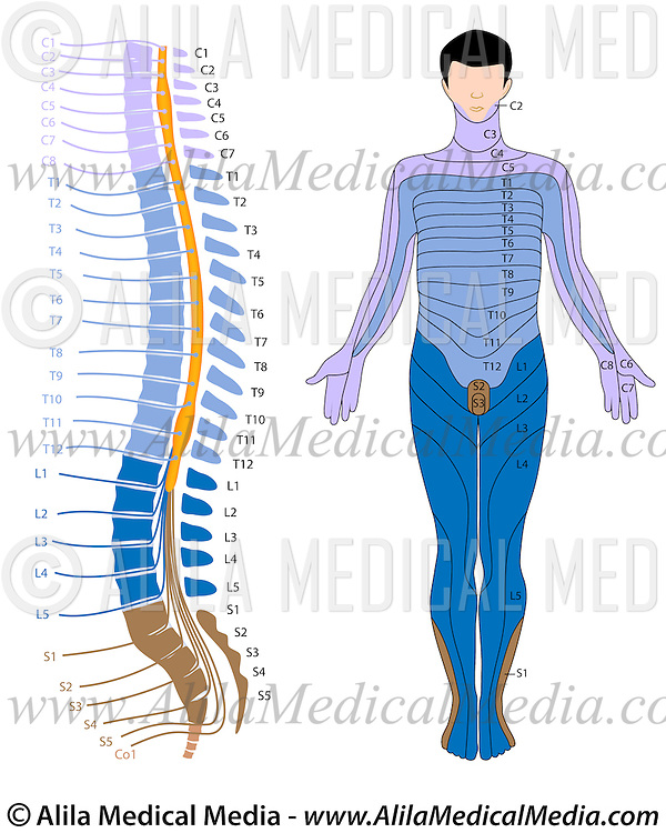 Spinal cord and dermatome map | Alila Medical Images on lumbar dermatomes map, cervical mass, cervical lateral flexion, cervical lumbar, myotome map, cervical myotomes charts, peripheral nerve field, cervical nerve map, two-point discrimination, cervical precautions, blood–brain barrier, cervical facet dermatomes, cervical rfa, brachial plexus, cervical flexors, cervical plexus, cervical disc herniation, cervical epidural injection, cervical and thoracic dermatomes, cervical radiculopathy, cervical dermatomes anatomical chart, cervical pain map, cervical nerve dermatomes, cervical facet anatomy, cervical paraspinal region, somatosensory system,
