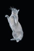 Blue Burmese cat standing on hind legs