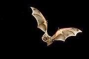 A hoary bat (Lasiurus cinereus) flying at night in the Kaibab National Forest, Arizona.