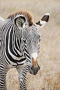Kenya, Samburu National Reserve, Kenya, Grevys Zebra, Equus gevyi,