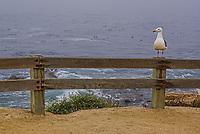 Monterey Seagull, Pacific Coast, California