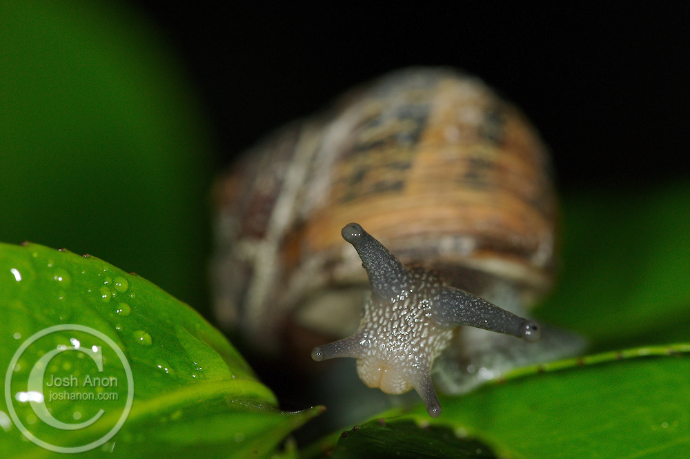 A snail poses for the camera on a leaf in Moraga, CA.