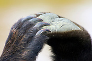 An intimate portrait of a grizzly's paws and claws.