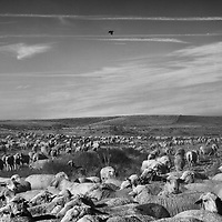 Sheep roam on a hillside outside of Delano in Kern County in California's Central Valley, CA, Friday, Oct. 14, 2016. One of the worst droughts in California history officially ended this spring in all of the state's counties except Fresno, Kings, Tulare and Tuolumne. <br />