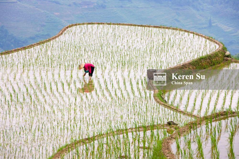 Zhuang woman farming on rice terraces in the mountain,  Longsheng, Guangxi, China