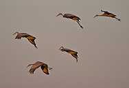 Greater Sand Hill Cranes get ready for a landing at the Cosumnes River Preserve. November 2, 2011.