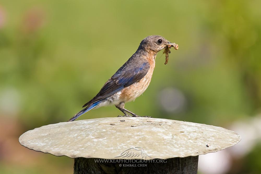 Eastern Bluebird, North America