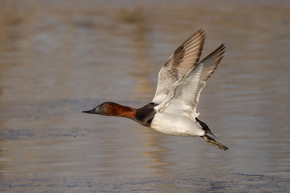 Stock photo of canvasback captured in Colorado.  The canvasback is named after it's clean white back, which appears to be wrapped in canvas. This ducks favorite food is wild celery.