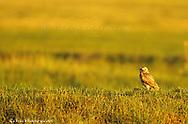 Burrowing owl in prairie at Fort Niobrara NWR near Valentine Nebraska