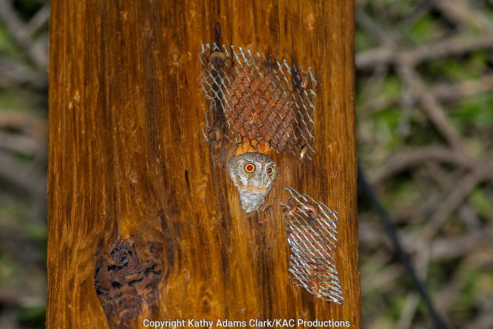 Elf Owl, Micrathene whitneyi, Madera Canyon, Santa Rita Mountains, southern, Arizona.
