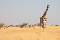 A Masai Giraffe checking out the photographer on Mbirikani Group Ranch, Kenya