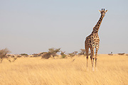 A Masai Giraffe checking out the photographer on Mbirikani Group Ranch, Kenya