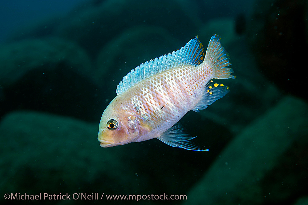 A male white morph Metriaclima sp. Zebra Cichlid swims near a rocky reef in Lilkoma Island, Lake Malawi, Malawi, Africa.