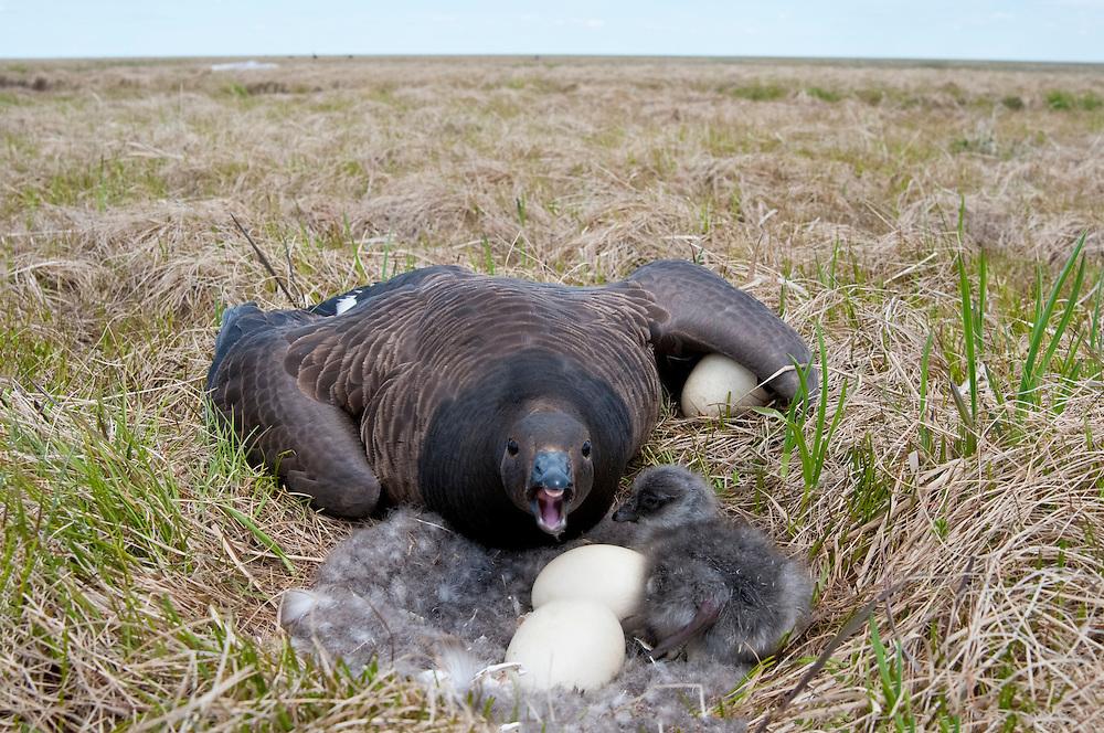 Black Brant; Branta bernicla nigricans, female at nest with gosling, Yukon Delta NWR, Alaska