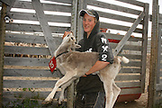Reindeer calves are given the owners mark during summer. Teh south sami group of Saanti Sijte, Mid-Norway. Essand...