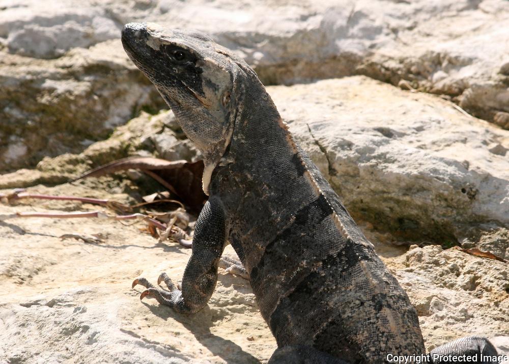 An Iguana keeping watch over it's rocky Yucatan territory.