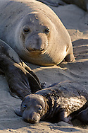 Northern Elephant Seal (Mirounga angustirostris) colony at Piedras Blancas, near San Simeon, San Luis Obispo County, California