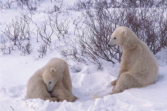 Polar Bear, (Ursus maritimus)  Pair of cubs. Cape Churchill, Manitoba. Canada.
