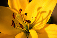 Close-up of yellow lily in Kodiak, Alaska garden