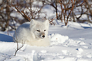 01863-01111 Arctic Fox (Alopex lagopus) in snow in winter, Churchill Wildlife Management Area, Churchill, MB Canada