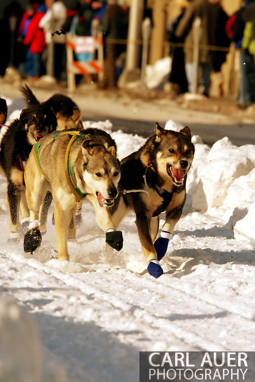 3/3/2007:  Anchorage Alaska -  The lead dogs of Veteran Aaron Burmeister of Nome/Nenana, AK sprint down 4th Avenue during the Ceremonial Start of the 35th Iditarod Sled Dog Race