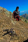 Haghier Mountains - Blue Baboon tarantula (Monocentropus Balfouri)