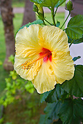 Yellow Hibiscus