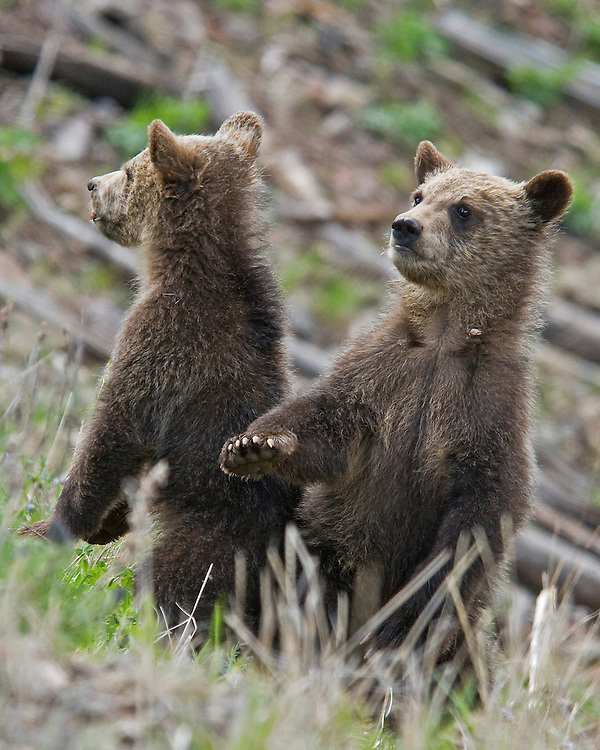 Grizzly bears, including these cubs-of-the-year, often stand upright to more effectively view their surroundings. Standing also makes it easier for grizzlies to use their powerful senses to identify an approaching threat or, in this case, just keep an eye on their mother.