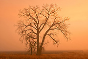 Plains cottonwood tree (Populus deltoides) in morning fog<br />