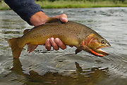 An angler releases a Yellowstone cutthroat trout on the South Fork of the Snake River, Idaho.