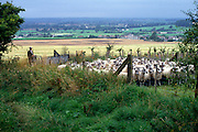 Shepherd rounding up sheep on the chalk downs near Cherhill, Wiltshire, England