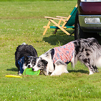 Frisbee catching dogs at the Green River Festival, Greenfield, MA, July 12, 2015