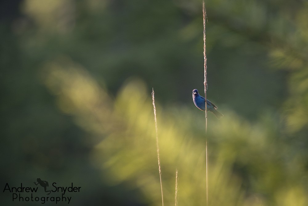 An indigo bunting (Passerina cyanea) perches on a tall reed over a swamp - John Kyle State Park, Mississippi