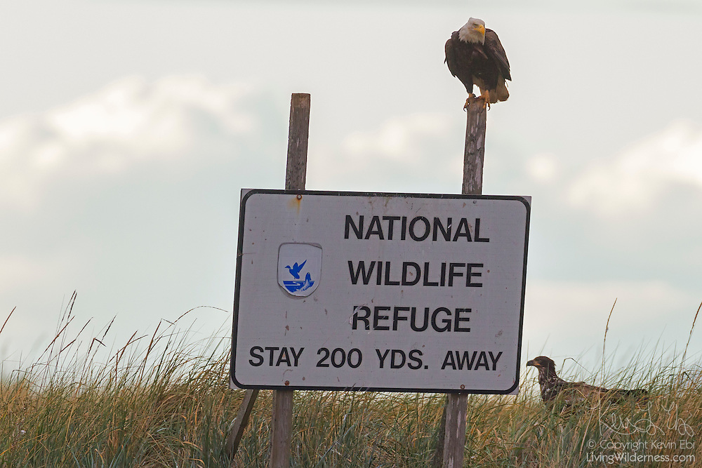 A pair of bald eagles (Haliaeetus leucocephalus) stand guard next to a National Wildlife Refuge sign on Protection Island near Port Townsend, Washington. Protection Island, located at the mouth of Discovery Bay in the Strait of Juan de Fuca, is a 364-acre island mainly covered with grass and low brush. The island, which also has high sandy bluffs, serves as a nesting ground for 72 percent of the seabirds that nest in the Puget Sound area.