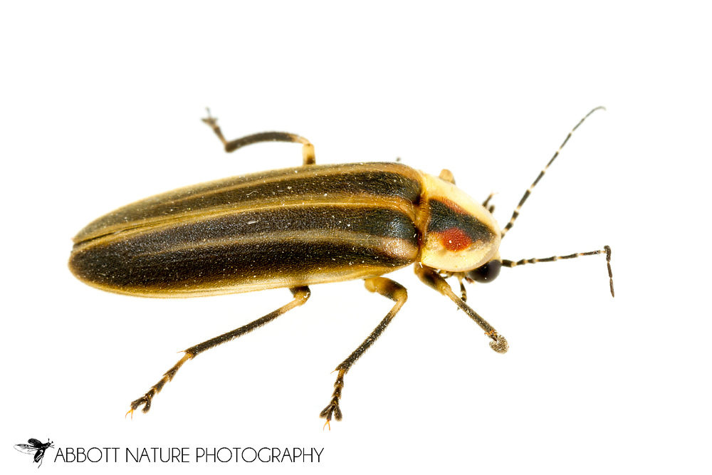 Firefly (Photuris versicolor complex)<br /> United States: Kentucky: Metcalfe Co.<br /> Barn at Node<br /> 1696 Edwin Williams Road, Sulphur Well<br /> 20-May-2017<br /> J.C. Abbott #2950