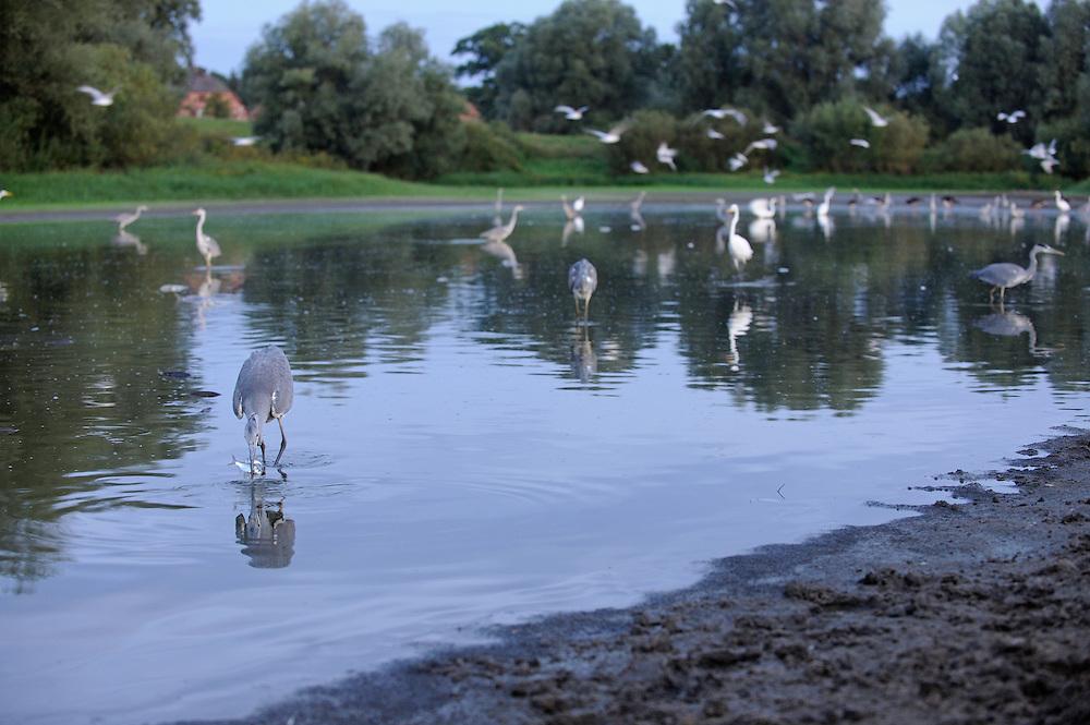Mission: Black Storks River Elbe Germany; Biosphärenreservat Niedersächsische Elbtalaue; Biosphere Reserve Middle Elbe; Graureiher; Grey Heron; Ardea cinerea; Silberreiher; Great White Egret; Casmerodius albus; Gulls; Möwen