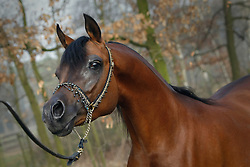 Arabian horse - QR Marc<br /> Jadem Arabians - Balen 2008<br /> Photo © Hippo Foto