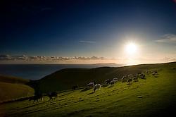 Cattle at sunset on the Jurassic Coast near Durdle Door, Dorset, England, UK.