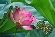 Vietnam Images-nature-Flower-Lotus -Hoàng thế Nhiệm
