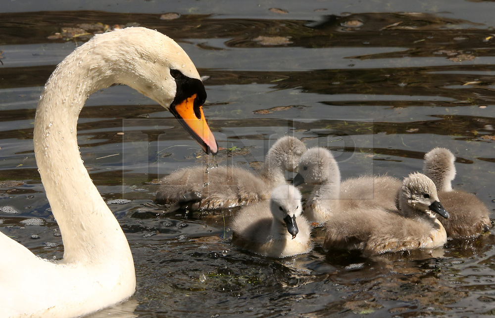 © Licensed to London News Pictures. 13/05/2018 .Wells, Somerset, UK. Adult swan Wyn paddles with her new born cygnets in the moat at The Bishop's Palace in Wells, Somerset. Her partner swan Bryn died recently before the eggs hatched. Two of the cygnets have been called Harry and Meghan after the Royal couple. Photo credit: Jason Bryant/LNP