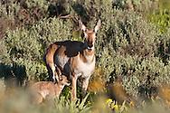 Pronghorn antelope doe and fawn, Grand Teton National Park