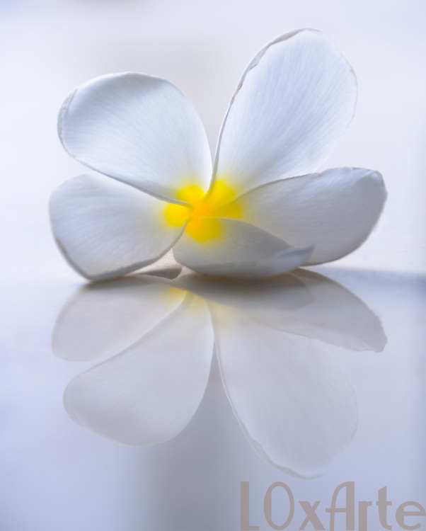 White Frangipani (Plumeria) with a yellow centre on a white glass surface with it's reflection showing. The image is available for commercial licensing through Arcangel Images. ID# AA1644963 . Contact LOxArte for Fine Art Prints.