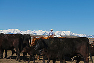 Branding, Joe Sarrazin, helping neighbor Hamm Ranch, Wilsall, MT, Bridger Mountains