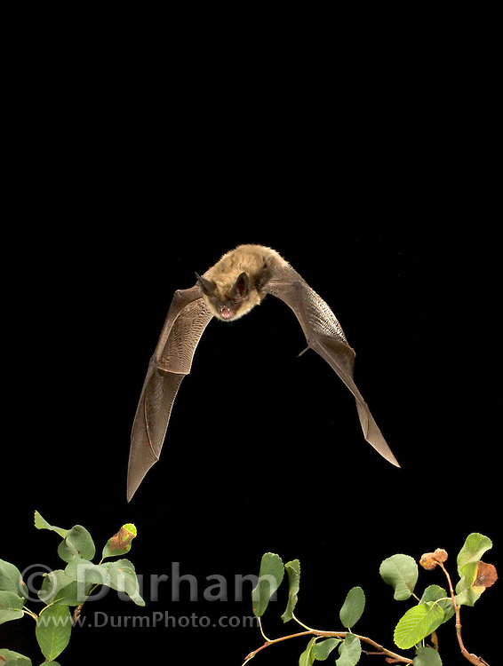 A western long-eared bat (Myotis evotis) flying at night in the Rogue River National Forest, Oregon.