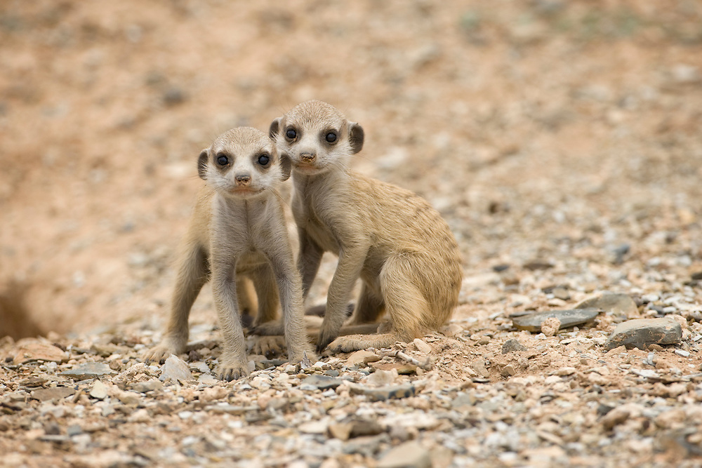 Africa, Namibia, Keetmanshoop, Meerkat Pups (Suricate suricatta) sitting outside burrow in Namib Desert